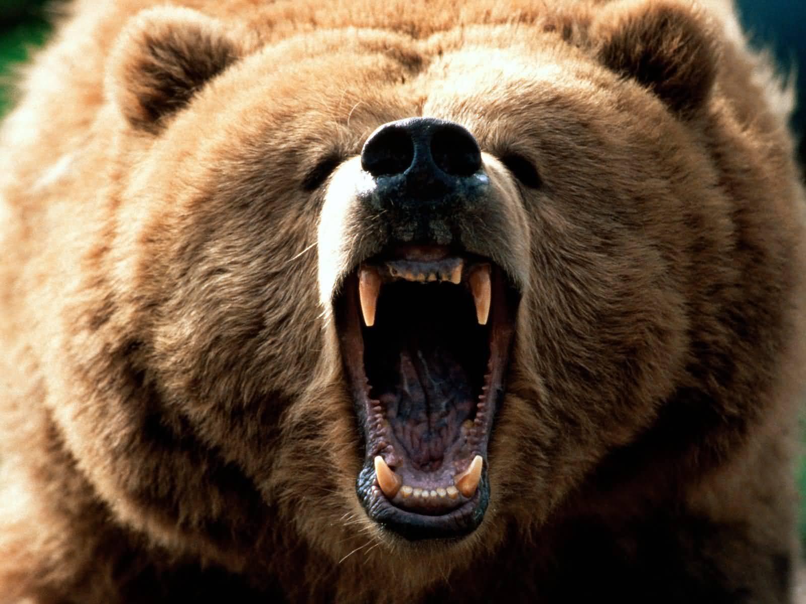 elish and the bears