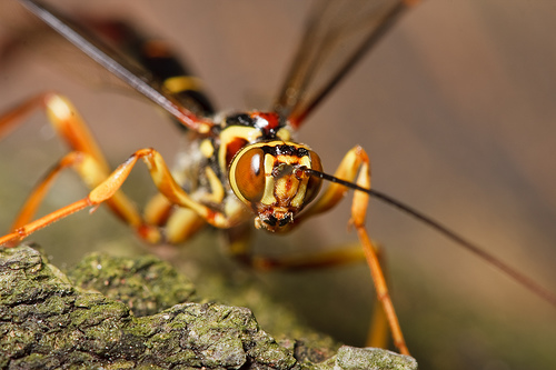 ichneumon wasp 2