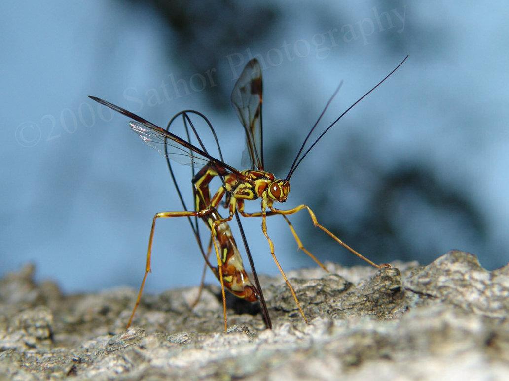 ichneumon wasp 3