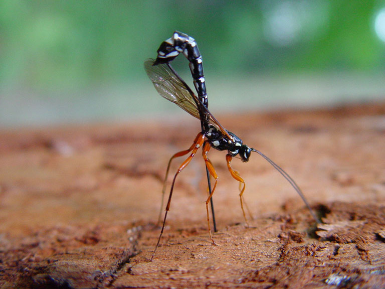 ichneumon wasp feature image