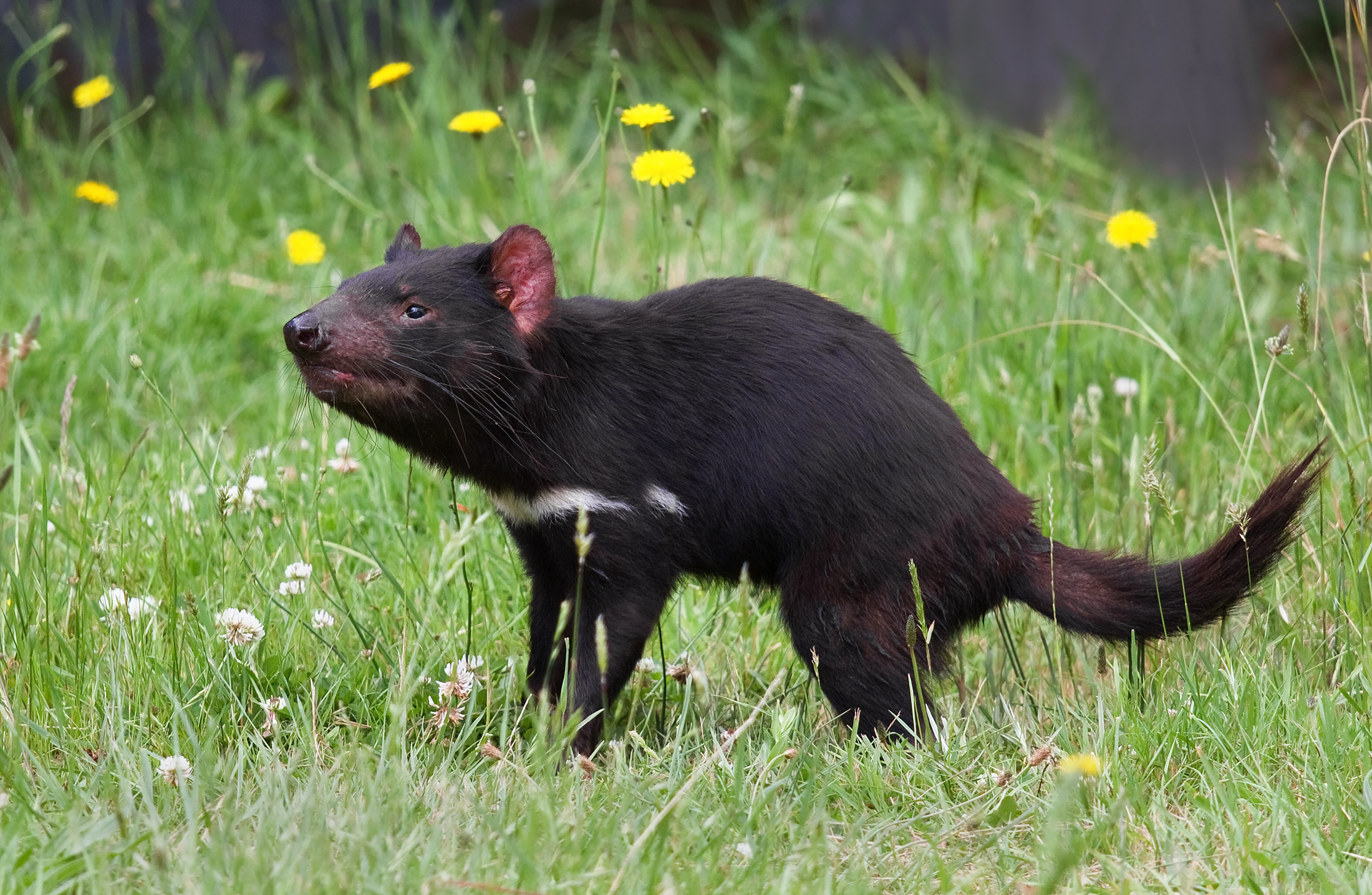 The Plight of Tasmanian Devils