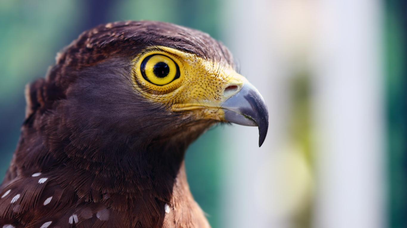 Eagle's Stare